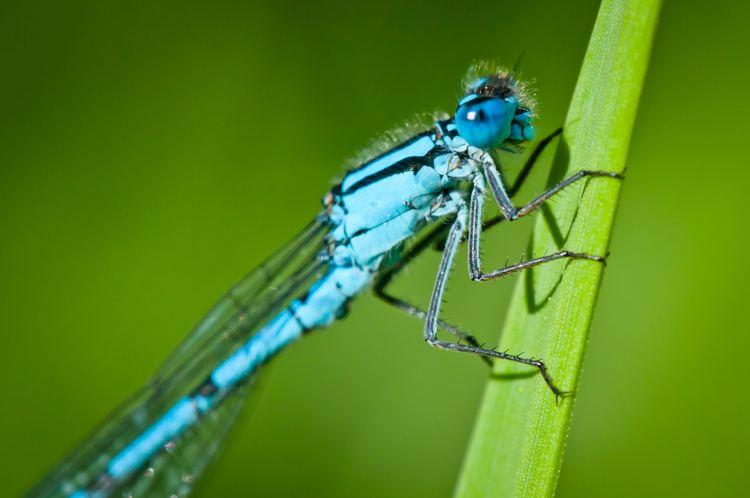 Enallagma cyathigerum FileEnallagma cyathigerum common blue damselflyjpg Wikimedia