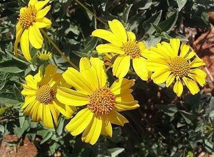 Encelia farinosa Encelia farinosa quotInciencioquot Buy Online at Annie39s Annuals