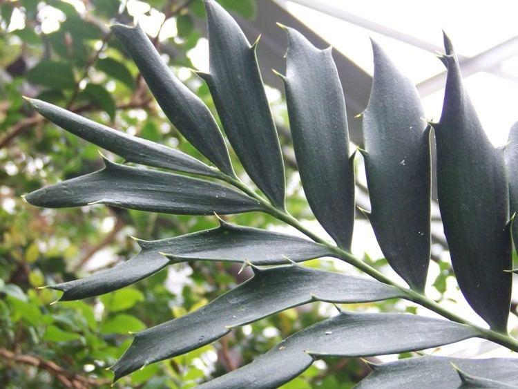Encephalartos ferox Encephalartos ferox Zululand cycad