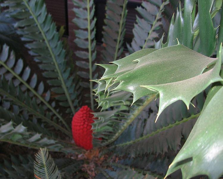 Encephalartos ferox Encephalartos ferox ShadeLoving Cycads