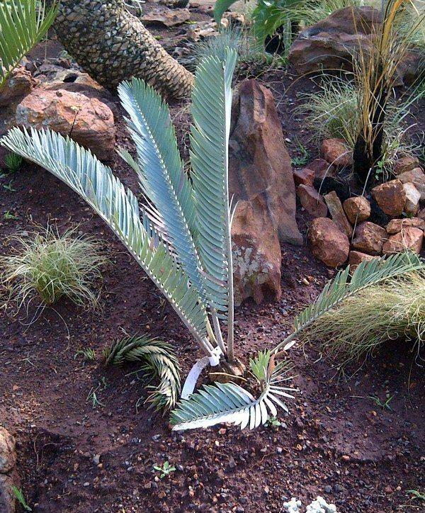Encephalartos hirsutus Encephalartos hirsutus Pacsoa