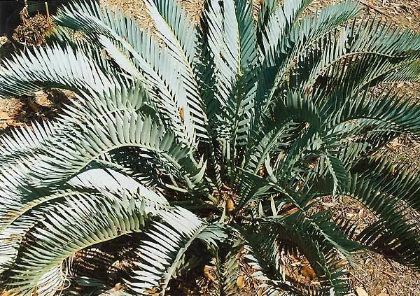Encephalartos lehmannii Encephalartos lehmannii Pacsoa