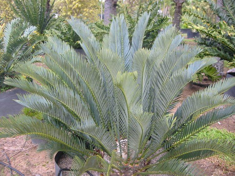 Encephalartos lehmannii Cycad Connections Cycads Supplier in Brisbane