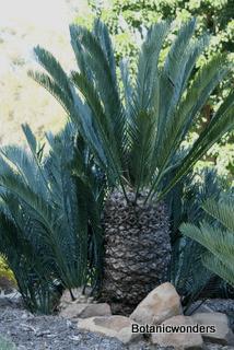 Encephalartos lehmannii wwwbotanicwonderscompublishImagesFeatureEncep