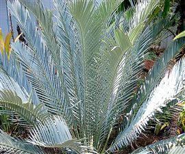 Encephalartos lehmannii Encephalartos lehmannii Encephalartos Species