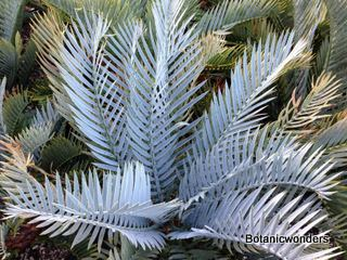Encephalartos lehmannii Encephalartos