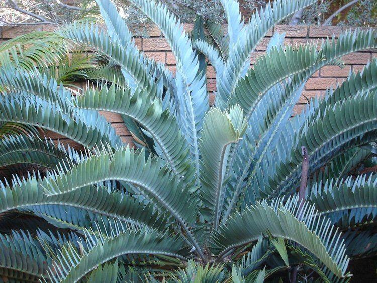 Encephalartos longifolius encephalartos latifrons cycad willowbrook nursery Cycad Garden
