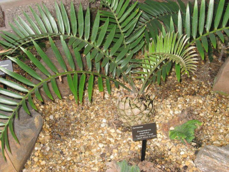 Encephalartos longifolius FileEncephalartos longifolius Atlanta Botanical GardenJPG
