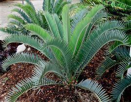 Encephalartos longifolius Encephalartos longifoliusJoubertina Blue Form Encephalartos Species