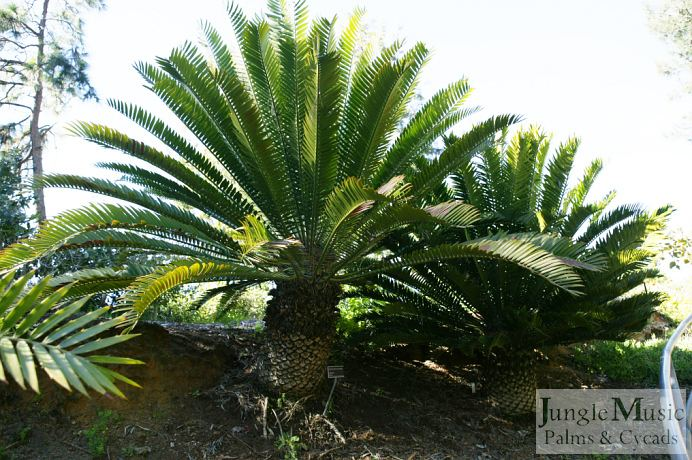 Encephalartos natalensis Rare and Unusual Cycads For Sale