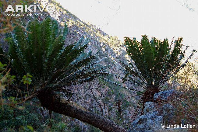 Encephalartos paucidentatus Barberton cycad photo Encephalartos paucidentatus G82744 ARKive