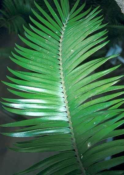 Encephalartos paucidentatus Encephalartos paucidentatus