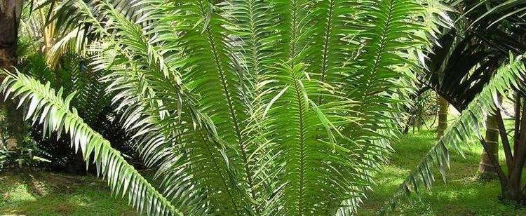 Encephalartos paucidentatus Barberton Cycad Encephalartos paucidentatus