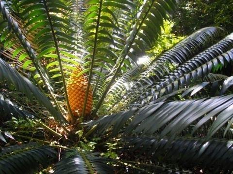 Encephalartos paucidentatus Operation Wildflower rescuing indigenous vegetation Category