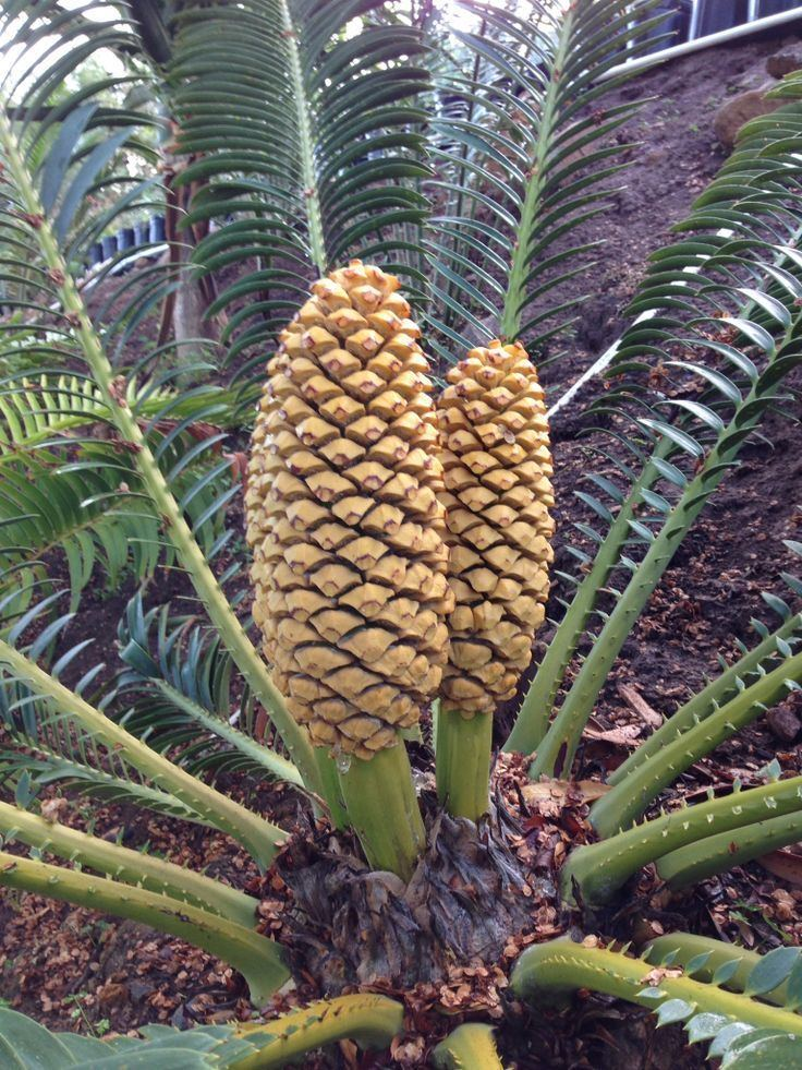 Encephalartos sclavoi 1000 images about Cycads on Pinterest Patrick o39brian Cas and