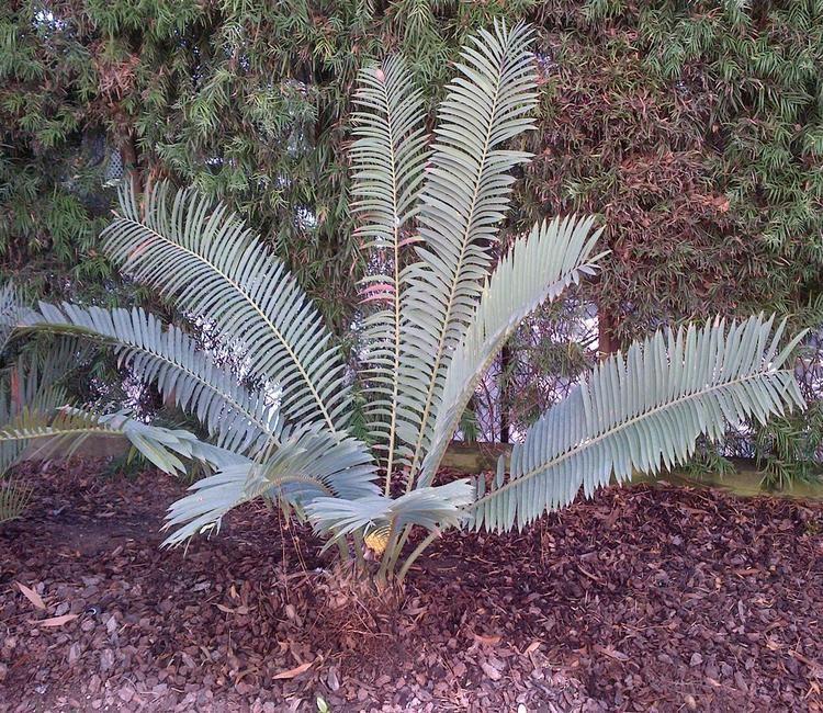 Encephalartos sclavoi Encephalartos sclavoi Encephalartos Species