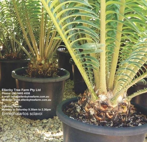 Encephalartos sclavoi Encephalartos sclavoi 39Sclavo39s Cycad39 Ellenby Tree Farm