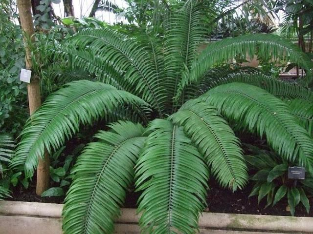 Encephalartos villosus Encephalartos villosus Plantinfo EVERYTHING and ANYTHING about