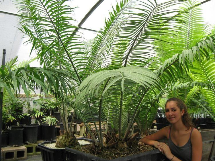 Encephalartos villosus Encephalartos villosus Encephalartos Species
