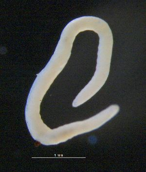 Enchytraeus BOLD Systems Taxonomy Browser Enchytraeus genus
