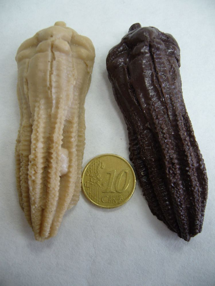 Encrinus FileEncrinus liliiformis1 TriasicoJPG Wikimedia Commons