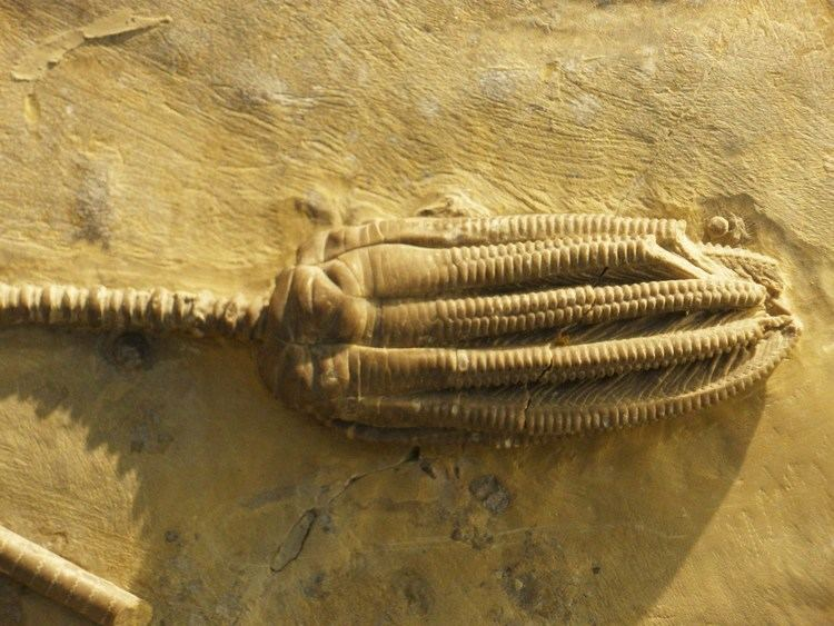 Encrinus FileEncrinus liliiformis 4JPG Wikimedia Commons