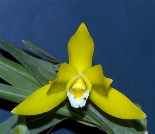 Encyclia citrina Encyclia citrina unusual orchids