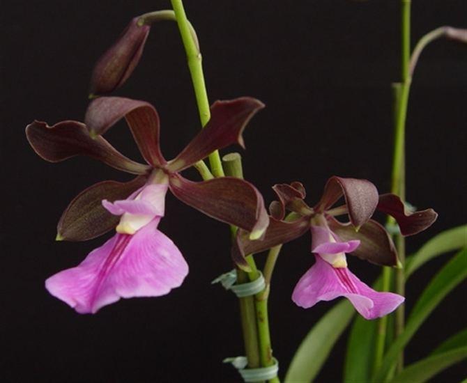 Encyclia cordigera Encyclia cordigera presented by Orchids Limited