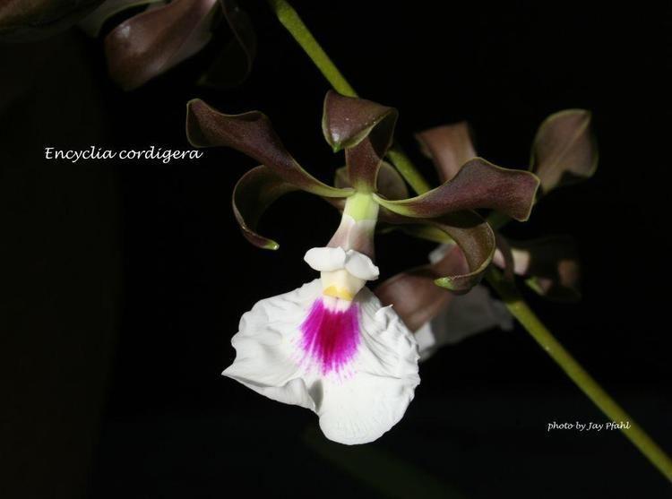 Encyclia cordigera IOSPE PHOTOS