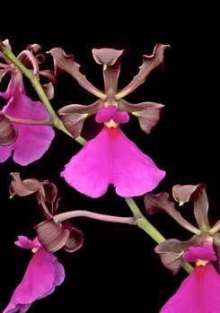 Encyclia cordigera wwwaosorgAOSmediaContentImagesOrchidsEncyc