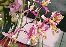 Encyclia cyperifolia httpsuploadwikimediaorgwikipediacommonsthu