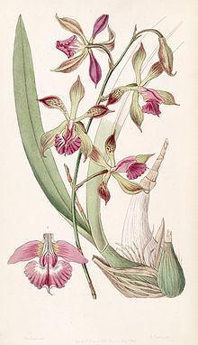 Encyclia plicata httpsuploadwikimediaorgwikipediacommonsthu