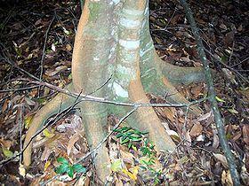 Endiandra muelleri httpsuploadwikimediaorgwikipediacommonsthu