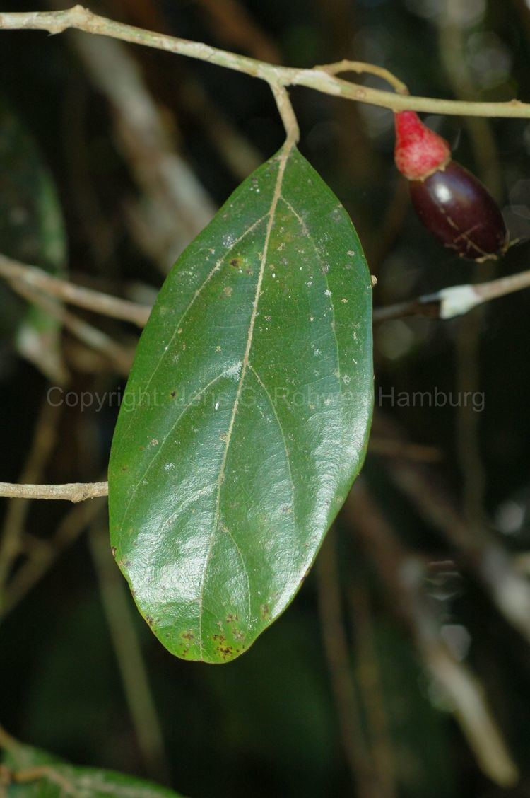 Endlicheria Lauraceae taxonomy Lauraceae
