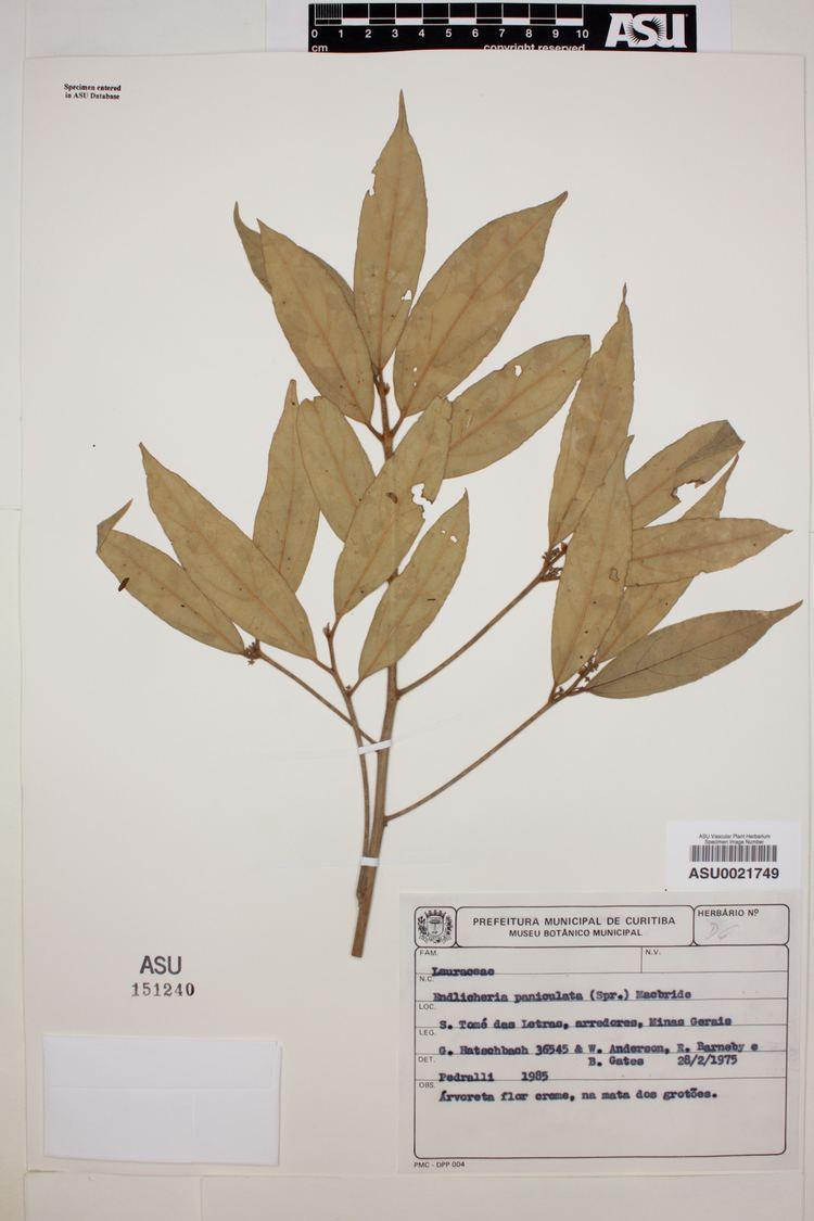 Endlicheria SEINet Arizona Chapter Endlicheria paniculata