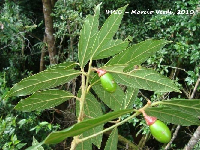 Endlicheria Flora Digital do Rio Grande do Sul e de Santa Catarina Endlicheria