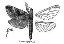 Endoclita signifer httpsuploadwikimediaorgwikipediacommonsthu