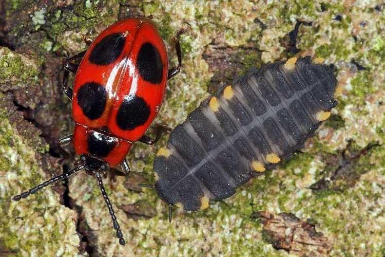 Endomychus coccineus Endomychus coccineus Scharlachroter Stublingskfer