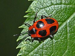 Endomychus coccineus Endomychus coccineus Wikipedia