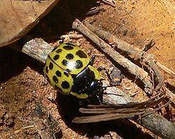 Endopterygota Endopterygota Wikispecies