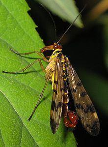 Endopterygota httpsuploadwikimediaorgwikipediacommonsthu
