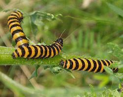Endopterygota Division Endopterygota Amateur Entomologists39 Society AES