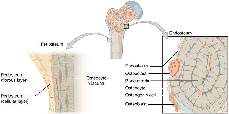 Endosteum