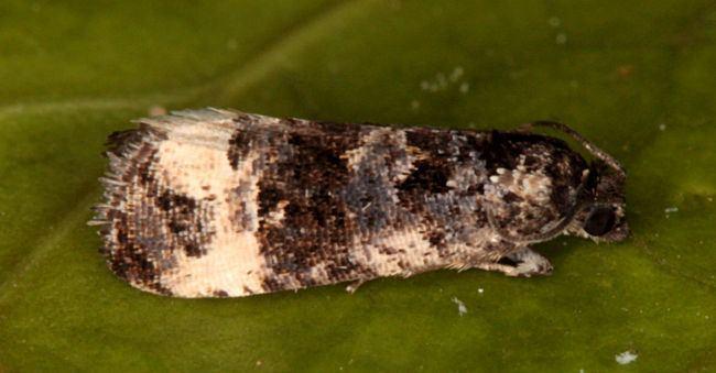 Endothenia Hants Moths 49188 Endothenia marginana