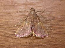 Endotricha mesenterialis httpsuploadwikimediaorgwikipediacommonsthu