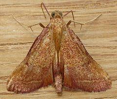 Endotricha pyrosalis httpsuploadwikimediaorgwikipediacommonsthu