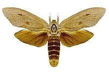 Endoxyla cinereus httpsuploadwikimediaorgwikipediacommonsthu