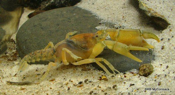 Engaeus Engaeus sericatus from south western Victoria Australian Aquatic