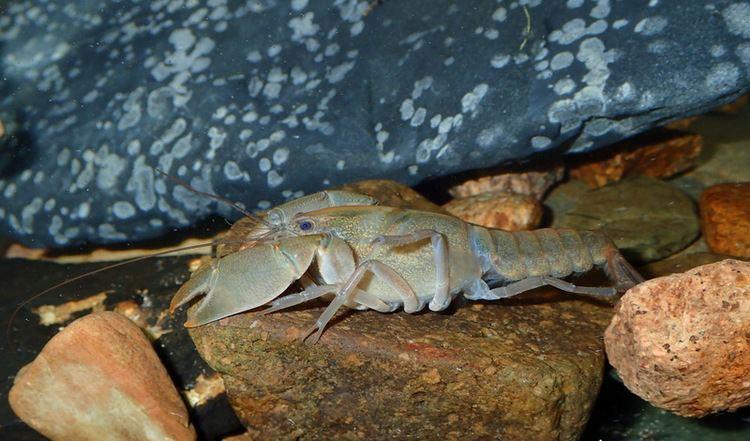 Engaeus The Burrowing Crayfish Engaeus lyelli The Australian Crayfish