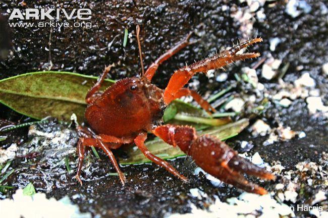 Engaeus Narracan burrowing crayfish videos photos and facts Engaeus